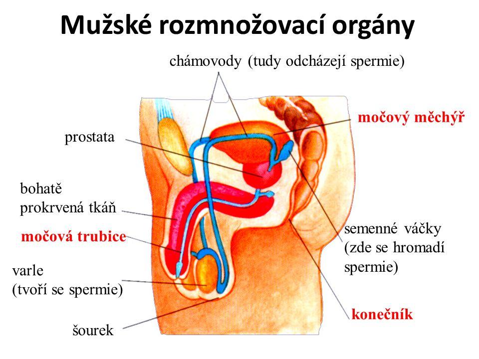 Mužské rozmnožovací orgány varle (tvoří se spermie) šourek semenné váčky (zde se hromadí spermie) chámovody (tudy odcházejí spermie) prostata bohatě prokrvená tkáň močová trubice konečník močový měchýř