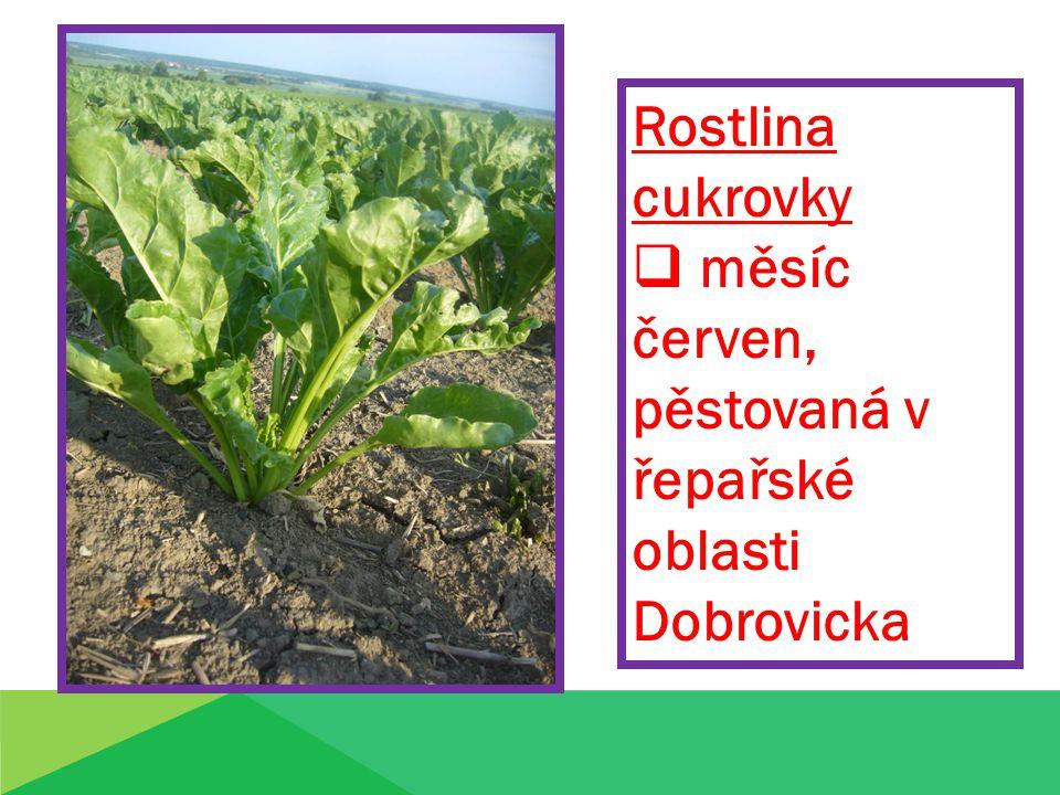 Rostlina cukrovky  měsíc červen, pěstovaná v řepařské oblasti Dobrovicka