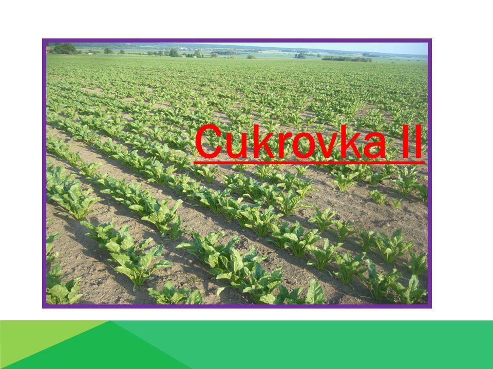 Osevní postup: Cukrovka – má výbornou předplodinovou hodnotu zařazení do OP:  po ozimých obilovinách  minim.časový odstup od předchozího pěstování cukrovky 4 – 5 let Nevhodné předplodiny: -kukuřice( působení reziduí triazinových herbicidů ) - hlubokokořenící plodiny – jetel, vojtěška -řepka, hořčice ( v OP s cukrovkou – podporují šíření háďátka řepného )
