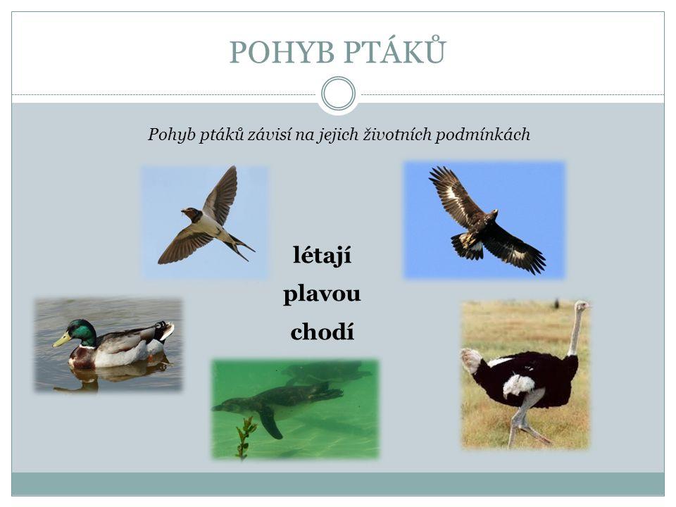 POHYB PTÁKŮ Pohyb ptáků závisí na jejich životních podmínkách létají plavou chodí