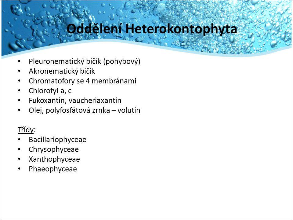 Oddělení Heterokontophyta Pleuronematický bičík (pohybový) Akronematický bičík Chromatofory se 4 membránami Chlorofyl a, c Fukoxantin, vaucheriaxantin