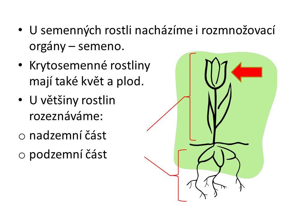U semenných rostli nacházíme i rozmnožovací orgány – semeno.