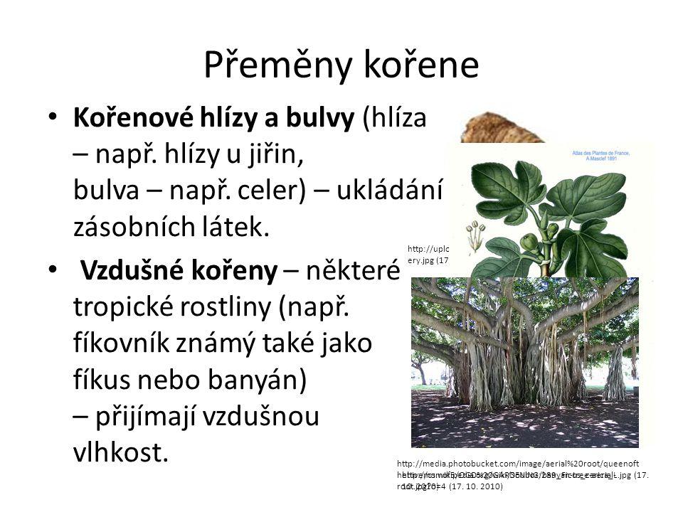 Přeměny kořene Kořenové hlízy a bulvy (hlíza – např.