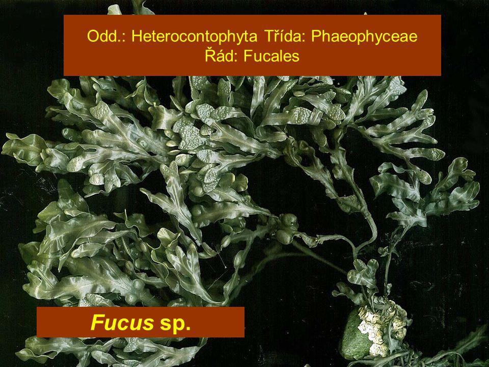 Odd.: Heterocontophyta Třída: Phaeophyceae Řád: Fucales Fucus sp.