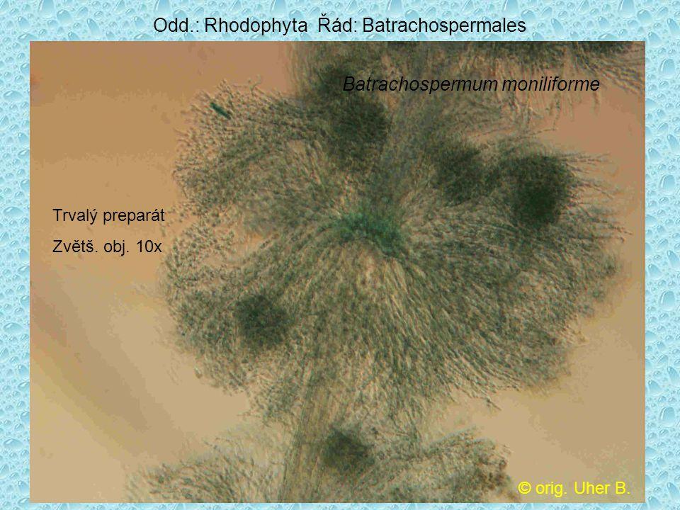 Odd.: Rhodophyta Řád: Batrachospermales Batrachospermum moniliforme © orig. Uher B. Trvalý preparát Zvětš. obj. 10x