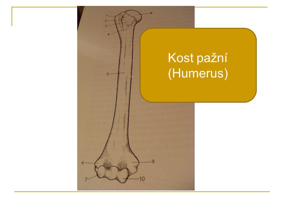 Kost pažní (Humerus)