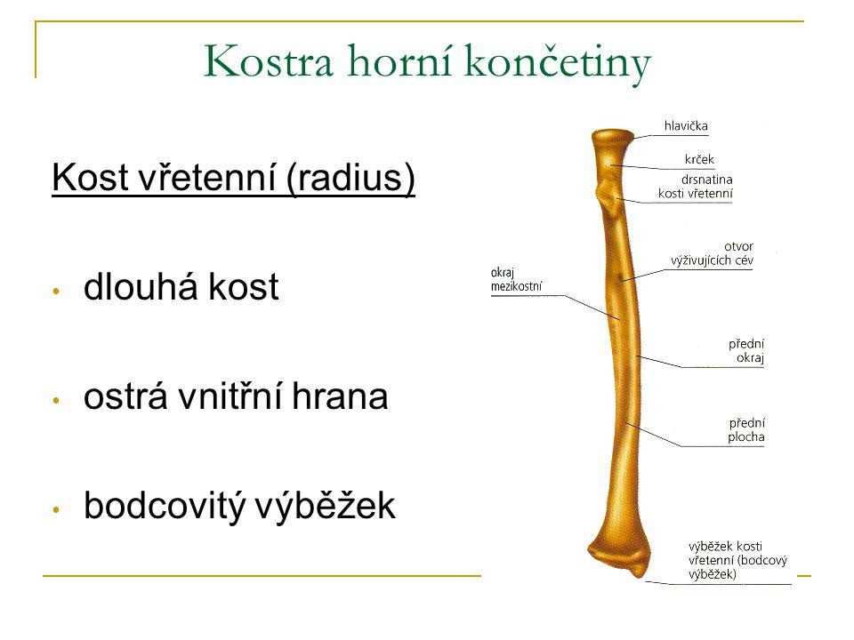 Kostra horní končetiny Kost vřetenní (radius) dlouhá kost ostrá vnitřní hrana bodcovitý výběžek