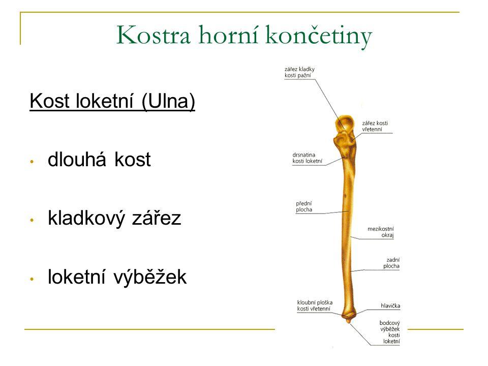 Kostra horní končetiny Kost loketní (Ulna) dlouhá kost kladkový zářez loketní výběžek