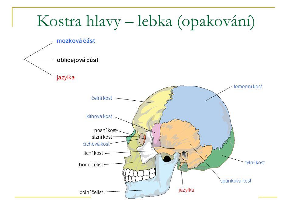 temenní kost čelní kost klínová kost čichová kost slzní kost nosní kost lícní kost spánková kost horní čelist týlní kost jazylka dolní čelist Kostra h