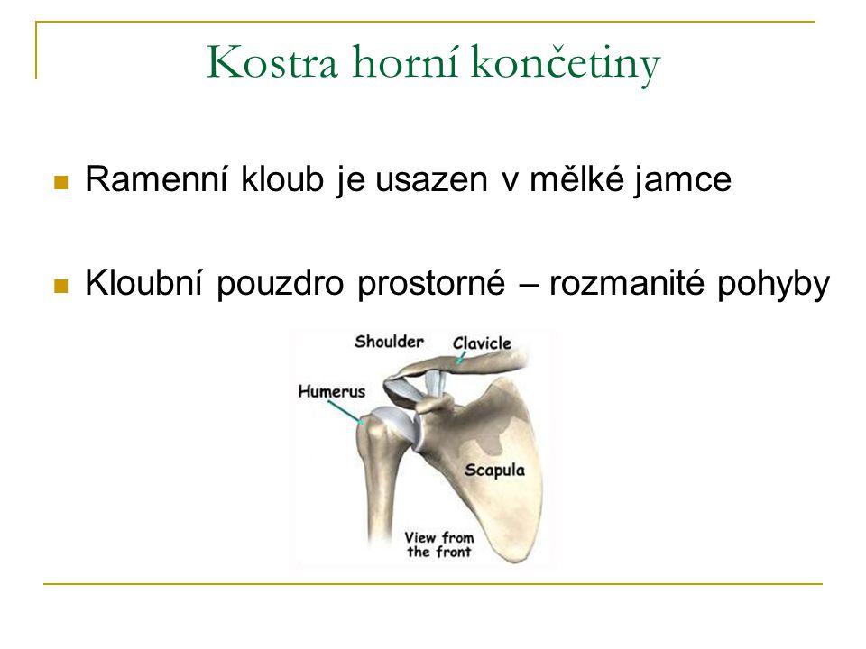 obr.12 Dolní končetiny kost pánevní stehenní kost holenní kost lýtková kost čéška kyčelní kloub kolenní kloub vnější kotník vnitřní kotník pletenec pánevní (pánevní kost je srostlá ze 3 kostí – kyčelní, sedací a stydké) volná dolní končetina (kostra stehna, bérce a nohy) 7 kůstek zánártních (každá má své jméno, největší je kost patní ) 5 kůstek nártních 14 článků prstů kostra nohy Kostra nohy má podélnou a příčnou klenbu, která dovoluje pružné našlapování a chrání cévy a nervy chodidla.
