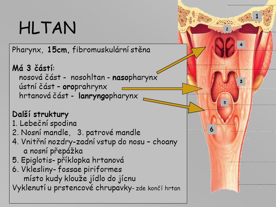 HLTAN Pharynx, 15cm, fibromuskulární stěna Má 3 částí: nosová část - nosohltan - nasopharynx ústní část – oroprahrynx hrtanová část - lanryngopharynx