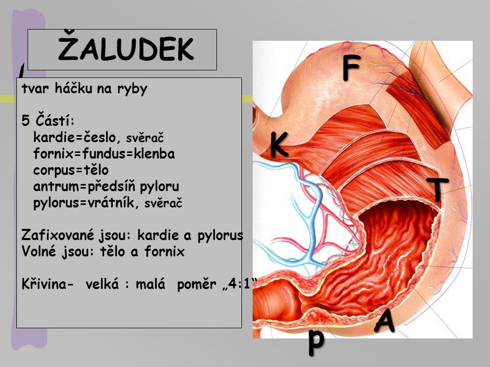 ŽALUDEK tvar háčku na ryby 5 Částí: kardie=česlo, svěrač fornix=fundus=klenba corpus=tělo antrum=předsíň pyloru pylorus=vrátník, svěrač Zafixované jso