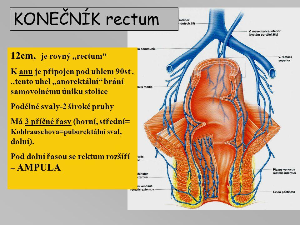 """KONEČNÍK rectum 12cm, je rovný """"rectum"""" K anu je připojen pod uhlem 90st...tento uhel """"anorektální"""" brání samovolnému úniku stolice Podélné svaly-2 ši"""