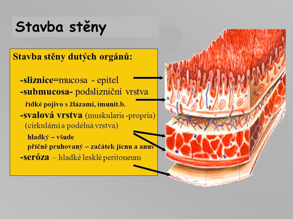 Stavba stěny dutých orgánů: -sliznice=mucosa - epitel -submucosa- podslizniční vrstva řídké pojivo s žlázami, imunit.b. -svalová vrstva (muskularis -p