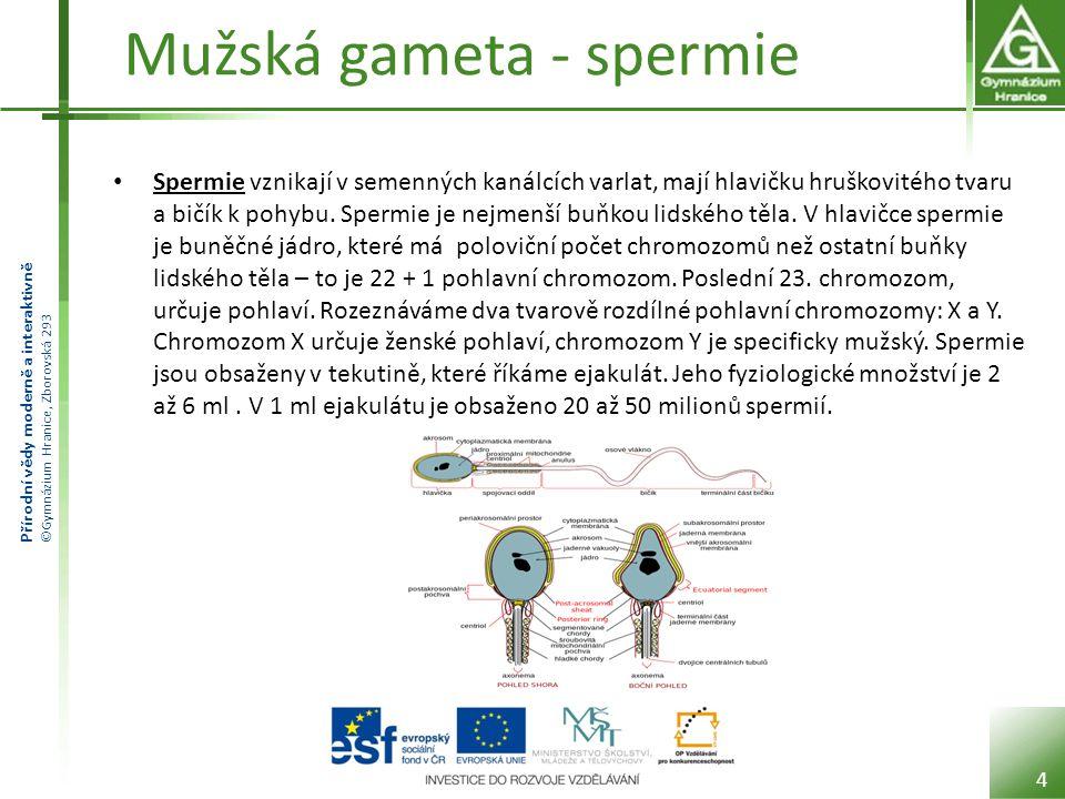 Přírodní vědy moderně a interaktivně ©Gymnázium Hranice, Zborovská 293 Mužská gameta - spermie Spermie vznikají v semenných kanálcích varlat, mají hla
