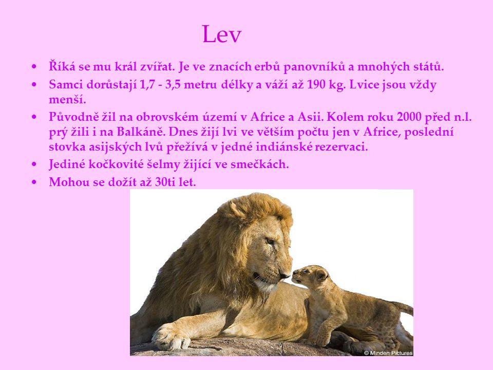 Lev Říká se mu král zvířat. Je ve znacích erbů panovníků a mnohých států. Samci dorůstají 1,7 - 3,5 metru délky a váží až 190 kg. Lvice jsou vždy menš