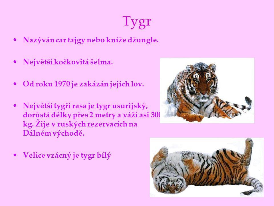 Tygr Nazýván car tajgy nebo kníže džungle. Největší kočkovitá šelma. Od roku 1970 je zakázán jejich lov. Největší tygří rasa je tygr usurijský, dorůst