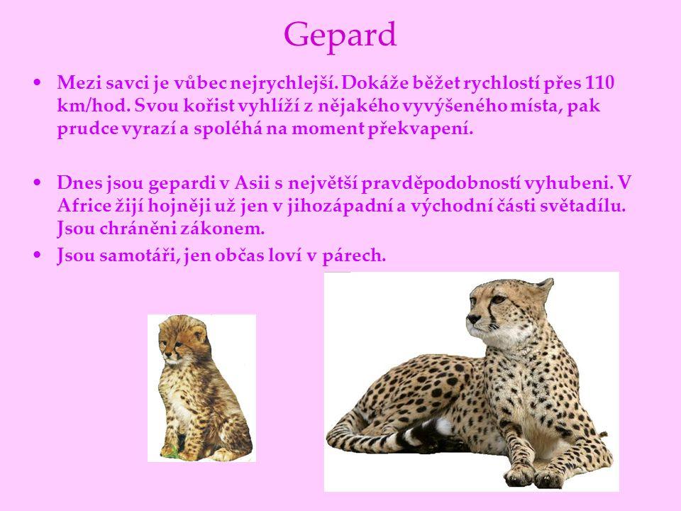 Gepard Mezi savci je vůbec nejrychlejší. Dokáže běžet rychlostí přes 110 km/hod. Svou kořist vyhlíží z nějakého vyvýšeného místa, pak prudce vyrazí a