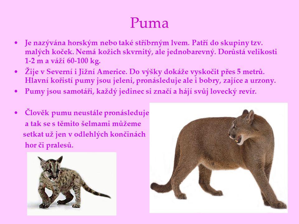 Puma Je nazývána horským nebo také stříbrným lvem. Patří do skupiny tzv. malých koček. Nemá kožich skvrnitý, ale jednobarevný. Dorůstá velikosti 1-2 m
