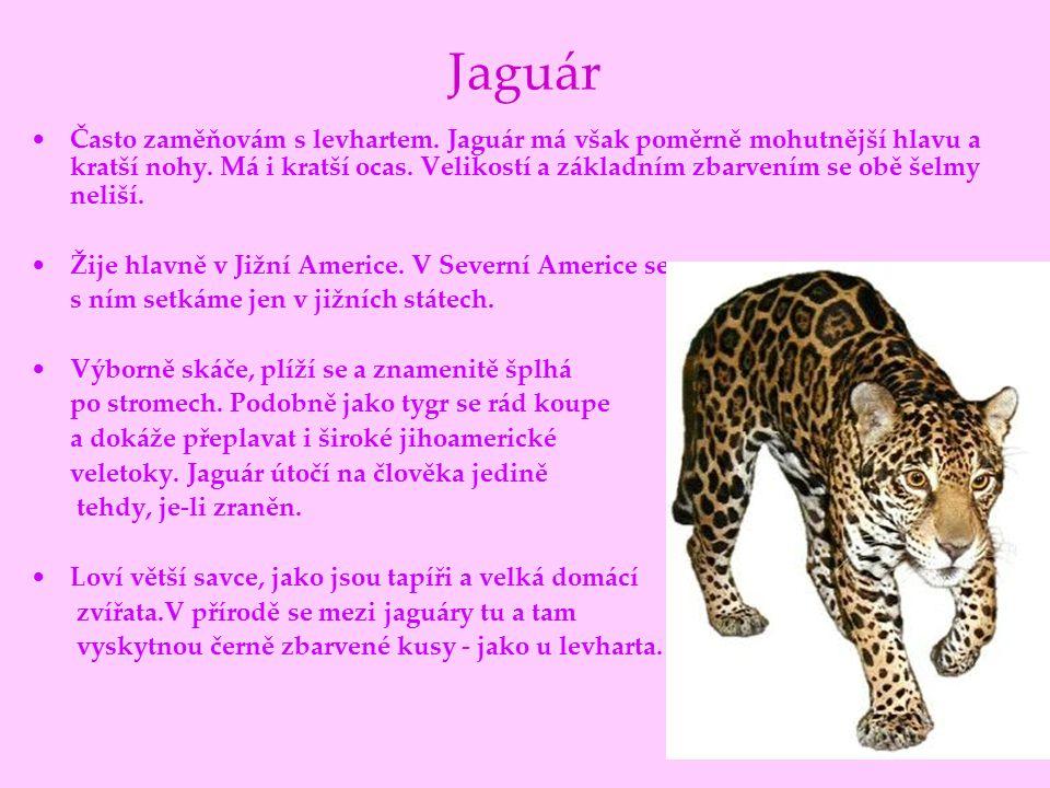 Jaguár Často zaměňovám s levhartem. Jaguár má však poměrně mohutnější hlavu a kratší nohy. Má i kratší ocas. Velikostí a základním zbarvením se obě še
