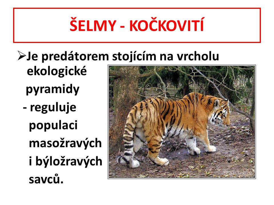 ŠELMY - KOČKOVITÍ  Je predátorem stojícím na vrcholu ekologické pyramidy - reguluje populaci masožravých i býložravých savců.