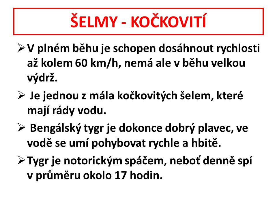 ŠELMY - KOČKOVITÍ  V plném běhu je schopen dosáhnout rychlosti až kolem 60 km/h, nemá ale v běhu velkou výdrž.  Je jednou z mála kočkovitých šelem,