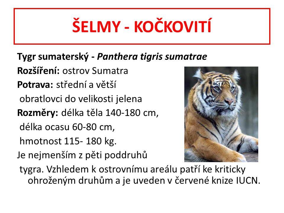 Tygr sumaterský - Panthera tigris sumatrae Rozšíření: ostrov Sumatra Potrava: střední a větší obratlovci do velikosti jelena Rozměry: délka těla 140-180 cm, délka ocasu 60-80 cm, hmotnost 115- 180 kg.