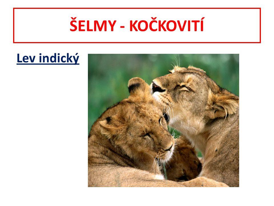 ŠELMY - KOČKOVITÍ Lev indický