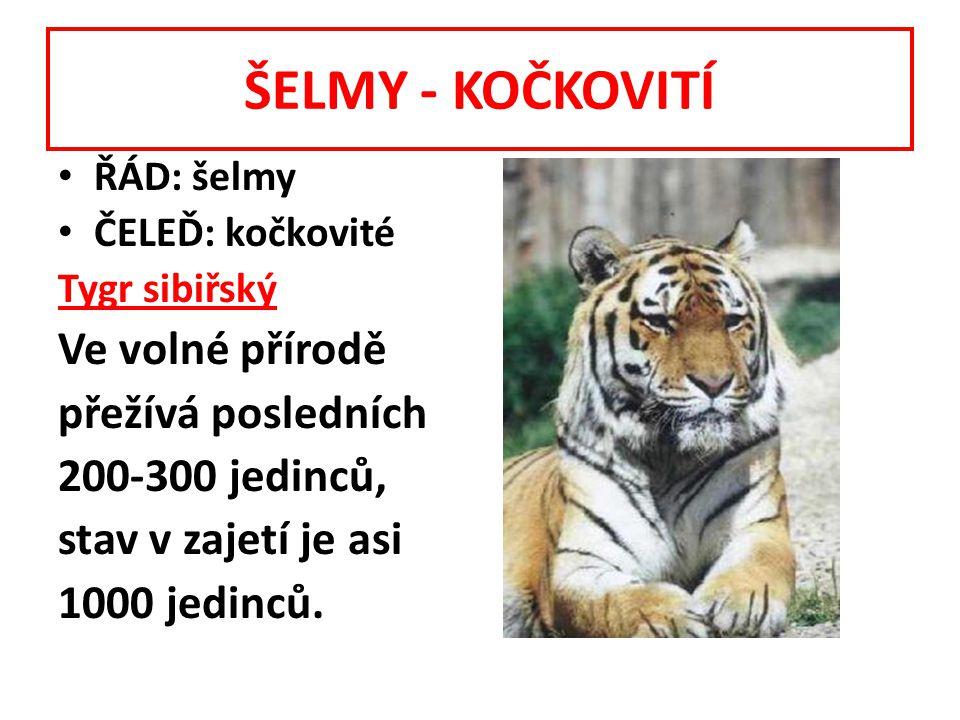 ŠELMY - KOČKOVITÍ ŘÁD: šelmy ČELEĎ: kočkovité Tygr sibiřský Ve volné přírodě přežívá posledních 200-300 jedinců, stav v zajetí je asi 1000 jedinců.