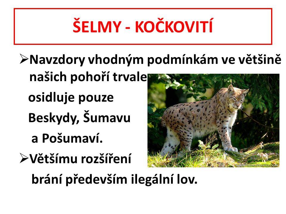 ŠELMY - KOČKOVITÍ  Navzdory vhodným podmínkám ve většině našich pohoří trvale osidluje pouze Beskydy, Šumavu a Pošumaví.