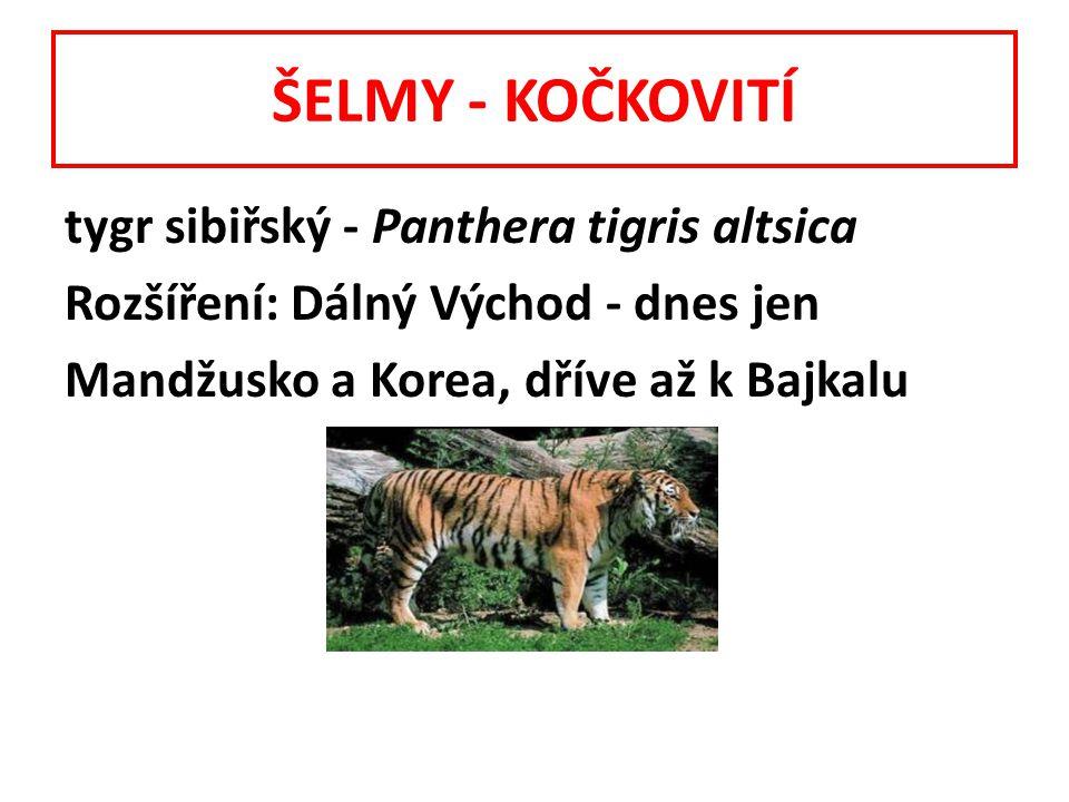 ŠELMY - KOČKOVITÍ tygr sibiřský - Panthera tigris altsica Rozšíření: Dálný Východ - dnes jen Mandžusko a Korea, dříve až k Bajkalu