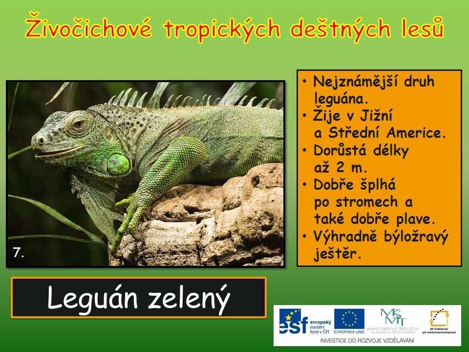 Leguán zelený 7. Nejznámější druh leguána. Žije v Jižní a Střední Americe. Dorůstá délky až 2 m. Dobře šplhá po stromech a také dobře plave. Výhradně