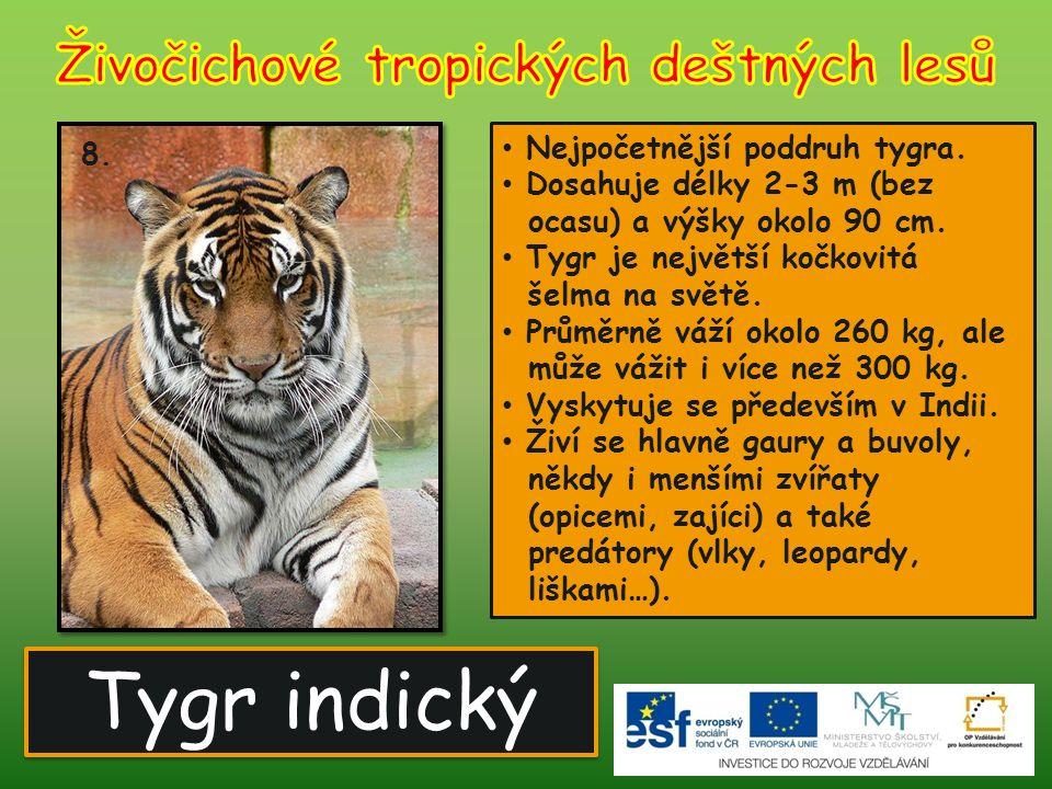 Tygr indický 8. Nejpočetnější poddruh tygra. Dosahuje délky 2-3 m (bez ocasu) a výšky okolo 90 cm. Tygr je největší kočkovitá šelma na světě. Průměrně