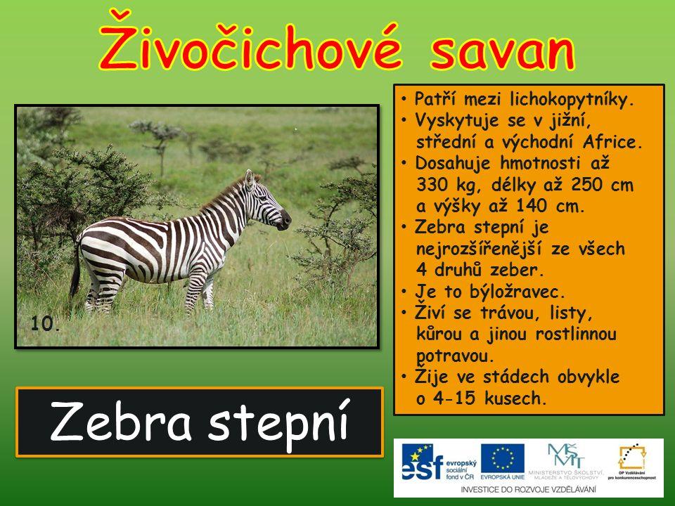 Zebra stepní 10. Patří mezi lichokopytníky. Vyskytuje se v jižní, střední a východní Africe. Dosahuje hmotnosti až 330 kg, délky až 250 cm a výšky až