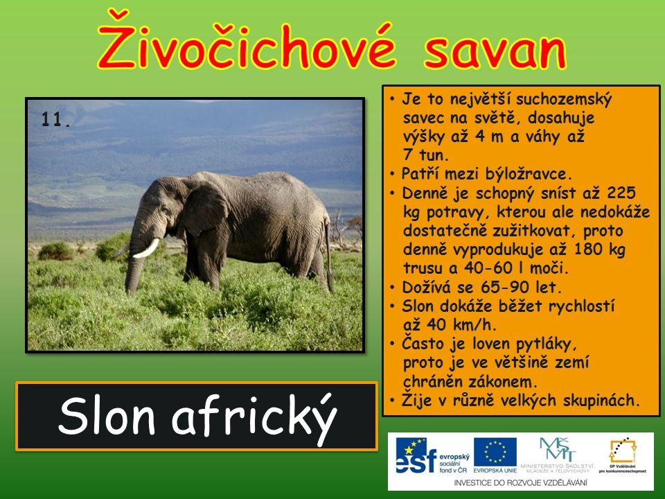 Slon africký 11. Je to největší suchozemský savec na světě, dosahuje výšky až 4 m a váhy až 7 tun. Patří mezi býložravce. Denně je schopný sníst až 22