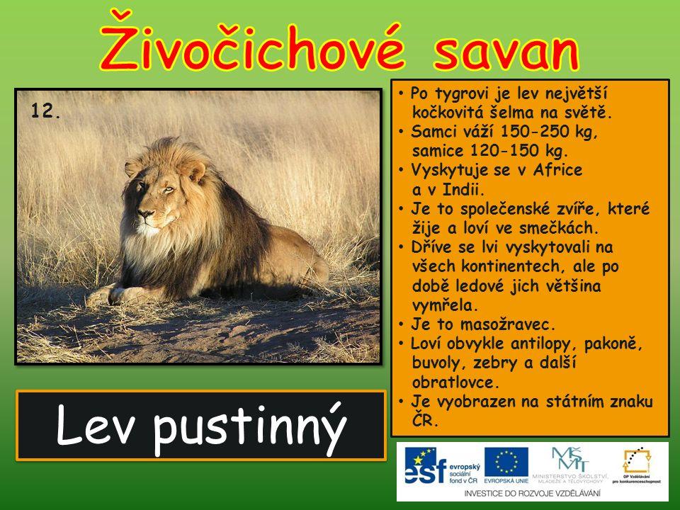 Lev pustinný 12. Po tygrovi je lev největší kočkovitá šelma na světě. Samci váží 150-250 kg, samice 120-150 kg. Vyskytuje se v Africe a v Indii. Je to