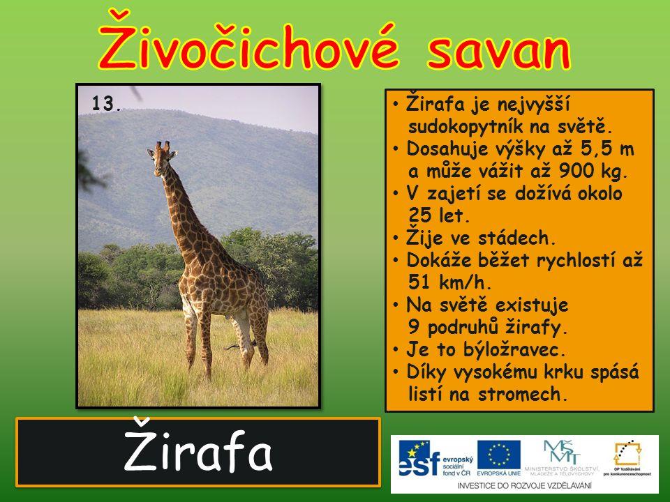 Žirafa 13. Žirafa je nejvyšší sudokopytník na světě. Dosahuje výšky až 5,5 m a může vážit až 900 kg. V zajetí se dožívá okolo 25 let. Žije ve stádech.
