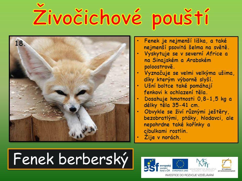 Fenek berberský Fenek je nejmenší liška, a také nejmenší psovitá šelma na světě. Vyskytuje se v severní Africe a na Sinajském a Arabském poloostrově.