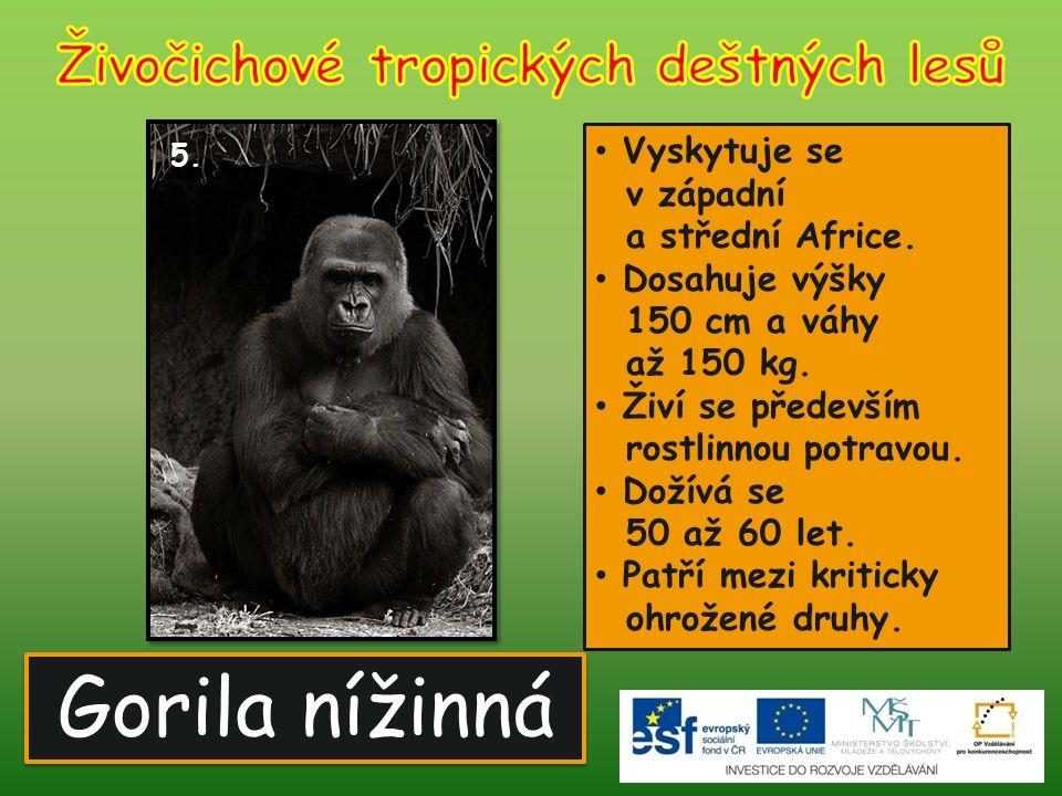 Gorila nížinná 5. Vyskytuje se v západní a střední Africe. Dosahuje výšky 150 cm a váhy až 150 kg. Živí se především rostlinnou potravou. Dožívá se 50