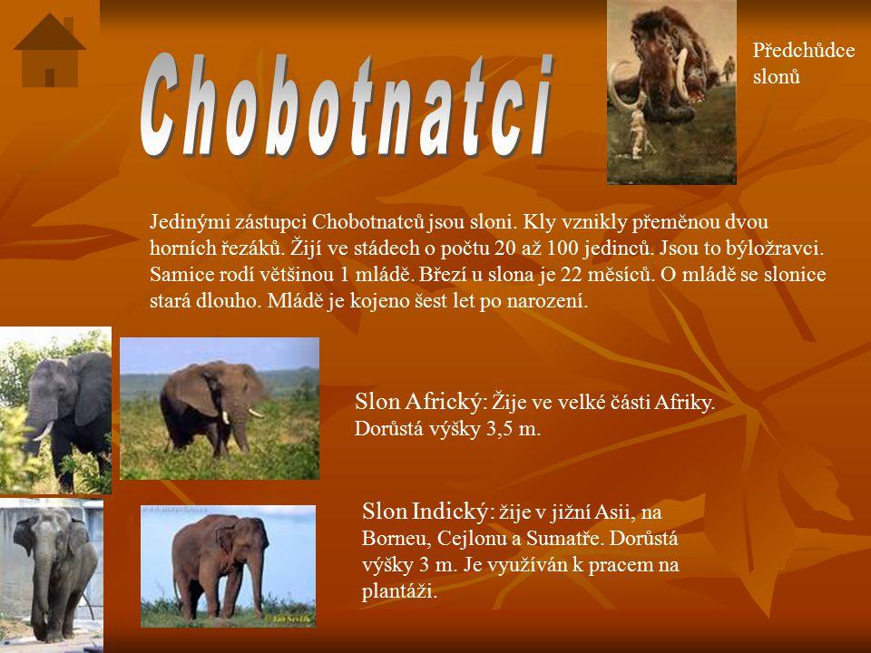 Jedinými zástupci Chobotnatců jsou sloni.Kly vznikly přeměnou dvou horních řezáků.