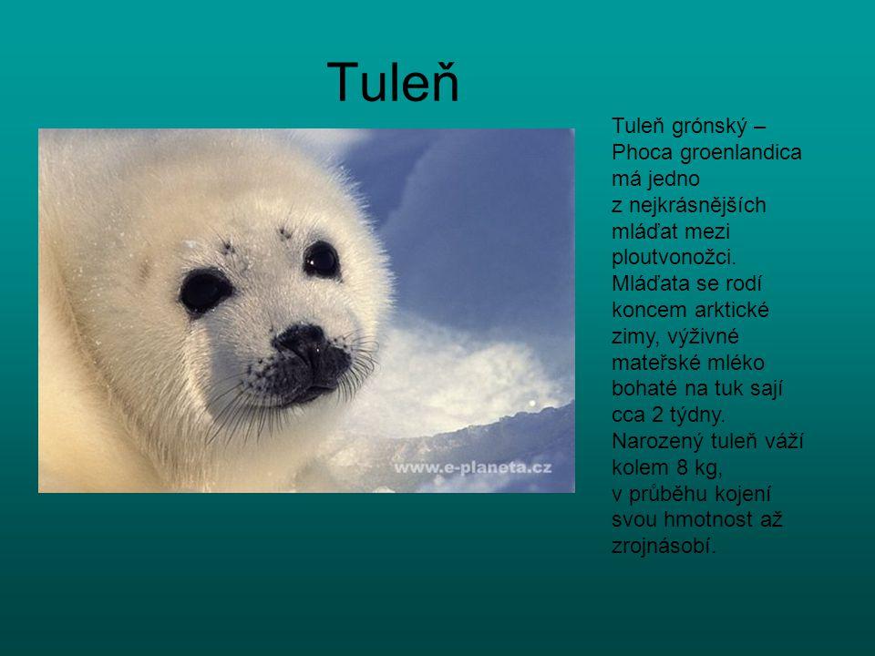 Tuleň Tuleň grónský – Phoca groenlandica má jedno z nejkrásnějších mláďat mezi ploutvonožci. Mláďata se rodí koncem arktické zimy, výživné mateřské ml