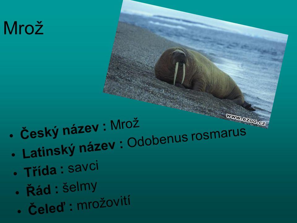 Mrož Český název : Mrož Latinský název : Odobenus rosmarus Třída : savci Řád : šelmy Čeleď : mrožovití