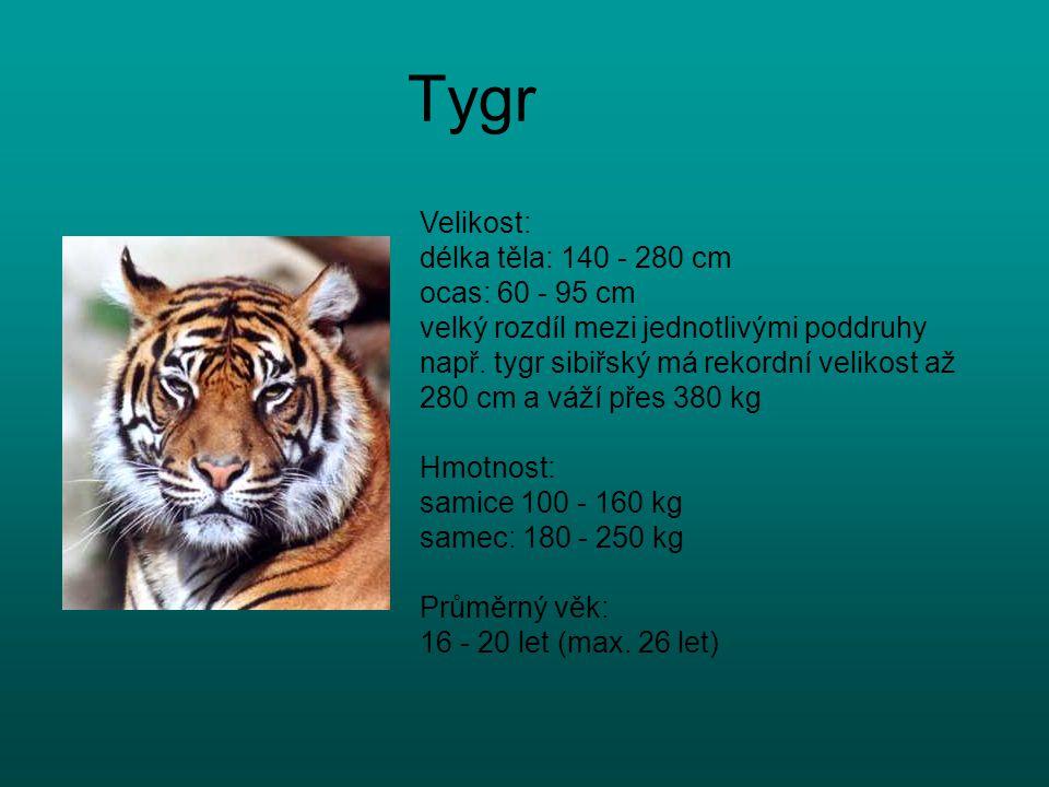 Tygr Velikost: délka těla: 140 - 280 cm ocas: 60 - 95 cm velký rozdíl mezi jednotlivými poddruhy např. tygr sibiřský má rekordní velikost až 280 cm a