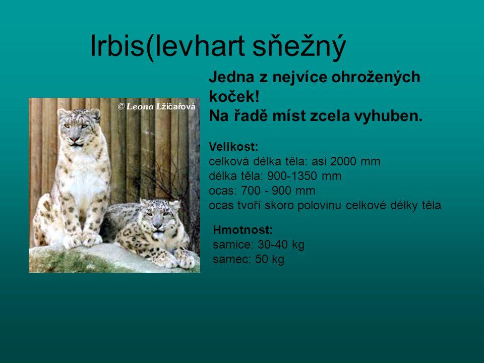 Irbis(levhart sňežný Jedna z nejvíce ohrožených koček! Na řadě míst zcela vyhuben. Velikost: celková délka těla: asi 2000 mm délka těla: 900-1350 mm o