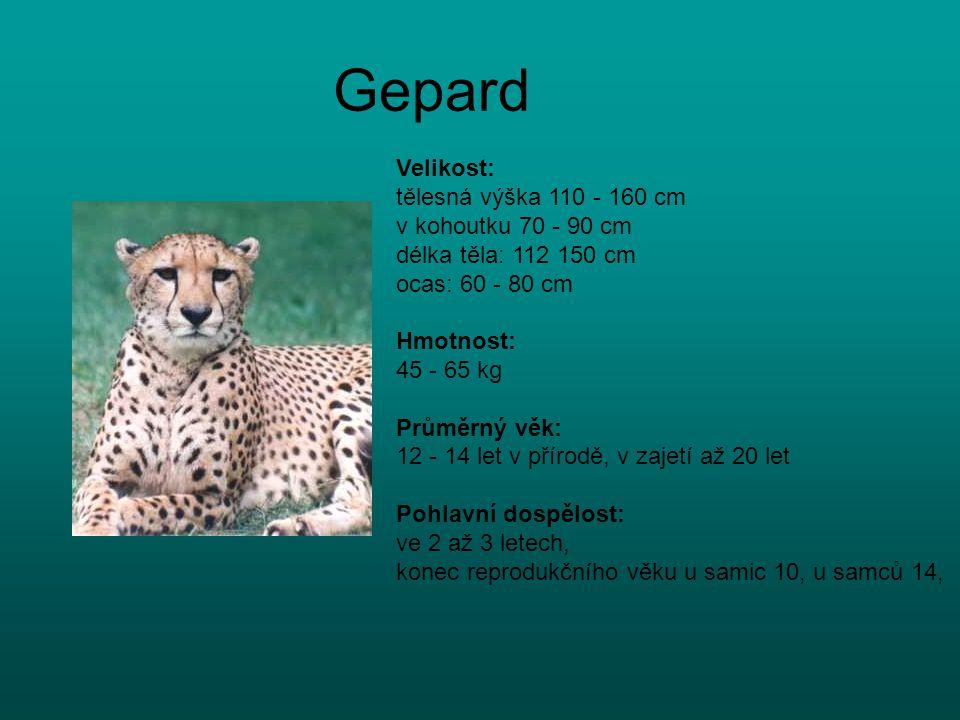 Gepard Velikost: tělesná výška 110 - 160 cm v kohoutku 70 - 90 cm délka těla: 112 150 cm ocas: 60 - 80 cm Hmotnost: 45 - 65 kg Průměrný věk: 12 - 14 l