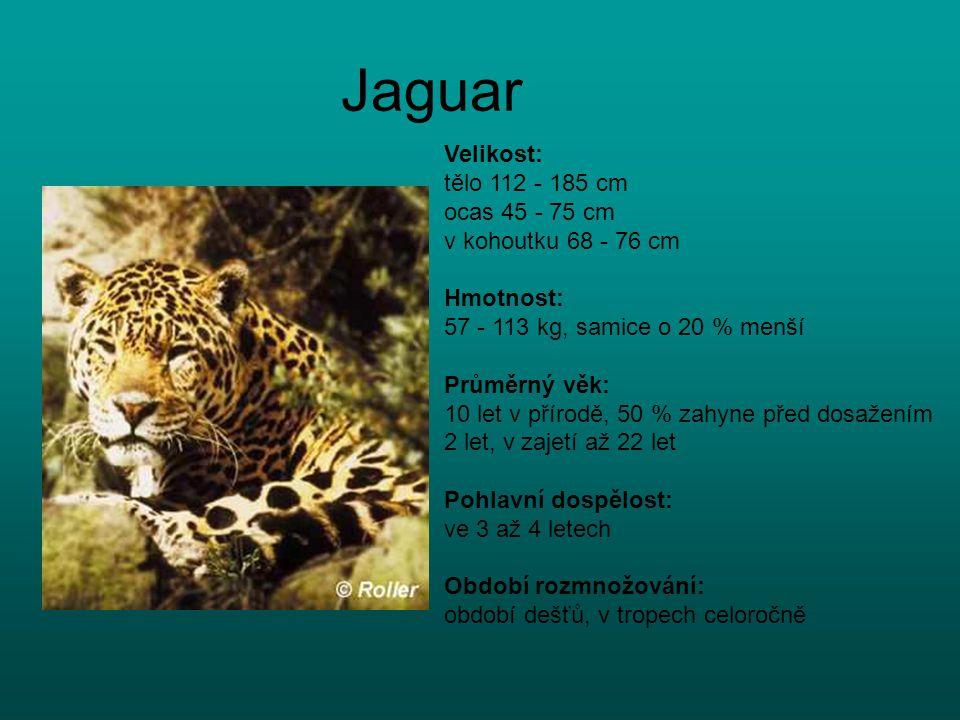 Jaguar Velikost: tělo 112 - 185 cm ocas 45 - 75 cm v kohoutku 68 - 76 cm Hmotnost: 57 - 113 kg, samice o 20 % menší Průměrný věk: 10 let v přírodě, 50