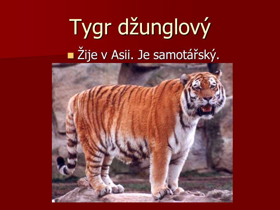 Tygr džunglový Žije v Asii. Je samotářský. Žije v Asii. Je samotářský.