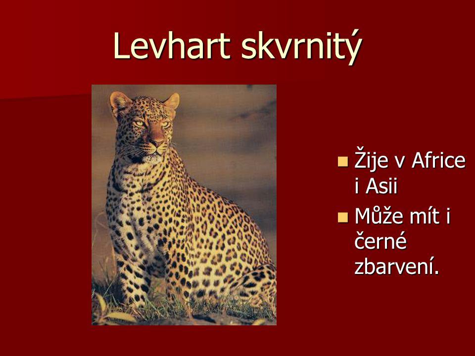 Levhart skvrnitý Žije v Africe i Asii Žije v Africe i Asii Může mít i černé zbarvení. Může mít i černé zbarvení.