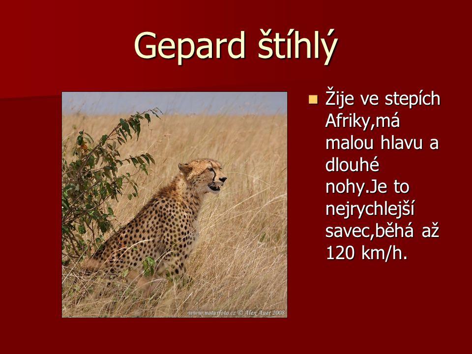 Gepard štíhlý Žije ve stepích Afriky,má malou hlavu a dlouhé nohy.Je to nejrychlejší savec,běhá až 120 km/h. Žije ve stepích Afriky,má malou hlavu a d