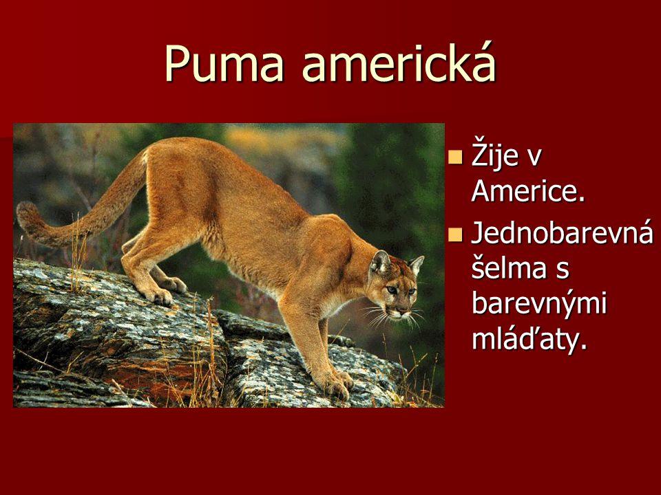 Puma americká Žije v Americe. Žije v Americe. Jednobarevná šelma s barevnými mláďaty. Jednobarevná šelma s barevnými mláďaty.